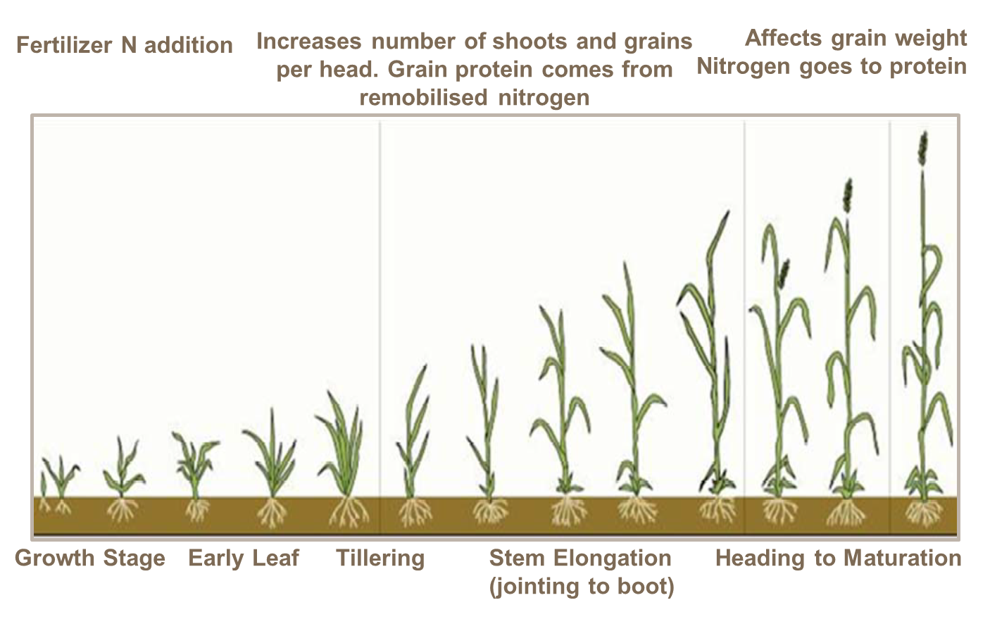 Effect of nitrogen and its timing on grain quality